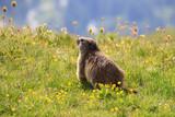 marmotta nel parco nazionale del Gran Paradiso - 241381210