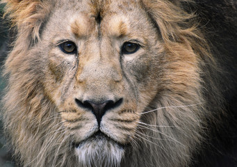 Male Asiatic Lion Close Up of Face with eye contact