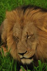 Lion Male Sleeping