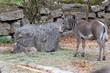 Grevyzebra: Mutter mit Jungtier in einem Zoo