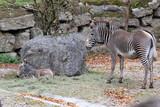Fototapeta Fototapeta z zebrą - Grevyzebra: Mutter mit Jungtier in einem Zoo © rbkelle