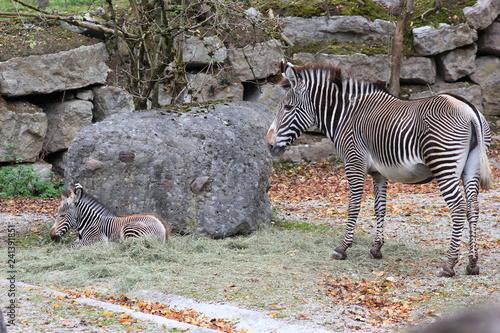 Grevyzebra: Mutter mit Jungtier in einem Zoo - 241391851