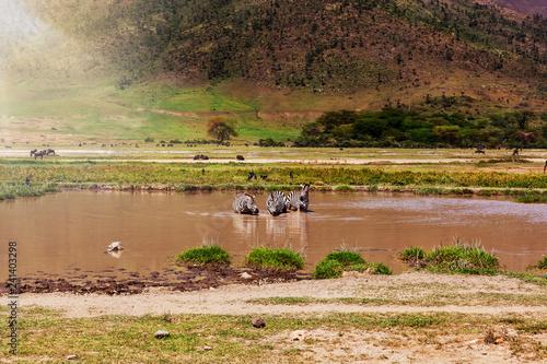 Several zebras drinking water.