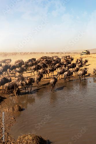 Wildebeest drinking water national park, Tanzania.