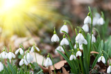beautiful snowdrops