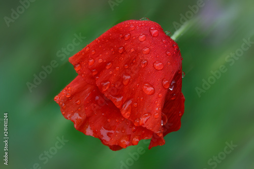Poppy flower after heavy rain - 241410244
