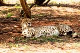 Southeast African cheetah