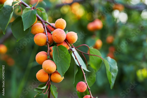 A bunch of ripe apricots on a tree - 241427882