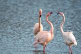 Flamingo vor Aigues-mortes / Camargue im Winter