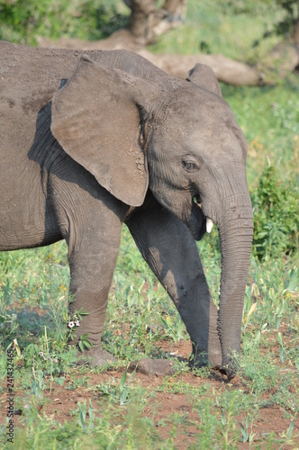 Beautiful Elephant in African Savannah