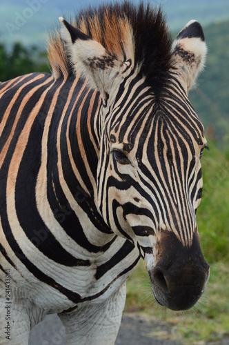 Beautiful Zebra Close-Up - 241433081