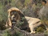 Lion in African Savannah