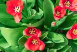 Beautiful, red tulips, spring in the garden, Tulipa sylvestris