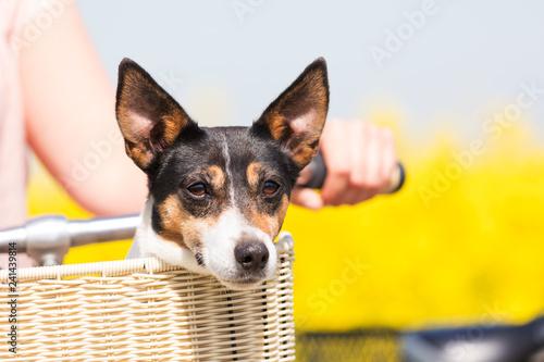 Hund im Fahrradkorb - 241439814