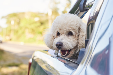 Cute poodle dog in car