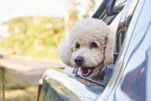Leinwanddruck Bild Cute poodle dog in car