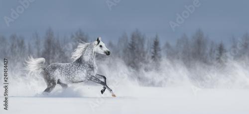 Leinwanddruck Bild Grey arabian horse galloping across snowy field.