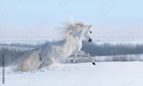 White horse with long mane galloping across winter meadow.