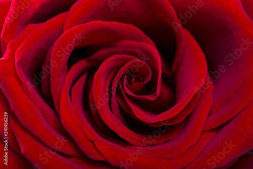 Macro Shot of a Red Rose - 241456239
