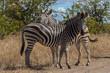 Zebra 16