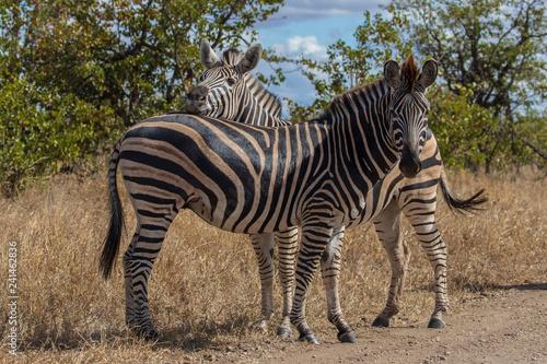 Zebra 16 - 241462836