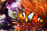 Amphiprion ocellaris clownfish in the anemon. Natural marine enriromnent - 241464612