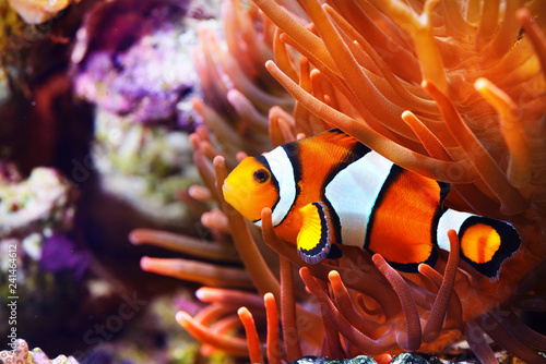 mata magnetyczna Amphiprion ocellaris clownfish in the anemon. Natural marine enriromnent