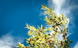 Olive branch against the blue sky on a Sunny day. Selective focus, copy space