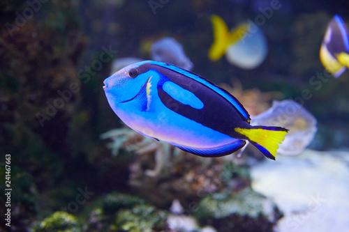 Leinwanddruck Bild Colorful Pallets doctor fish in coral garden.
