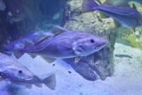 Nice big cod