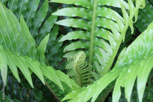 Natural abstract background of fern leaves.