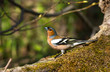 Common Chaffinch on the stump