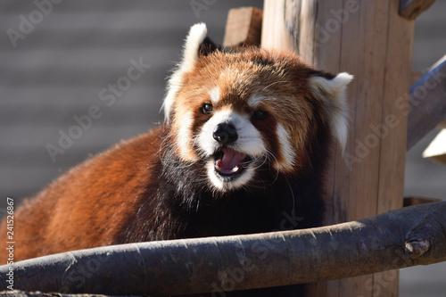 レッサーパンダ かみね動物園