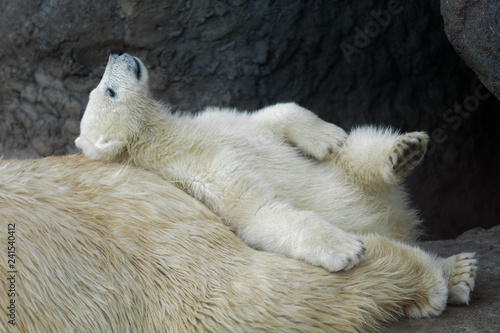 obraz PCV Polar bear cub with his mother