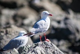 Seagulls in New Zealand