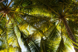 Bottom view of the branches of coconut trees and the sky - 241546419