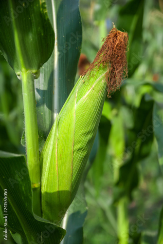 Sweet corn from Thailand country, sweet corn, Green corn