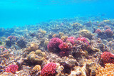 coral reef in egypt - 241555655