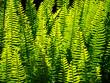 Leinwanddruck Bild - Beautiful close up green leaves fern garden in a spring season at a tropical botanical garden.