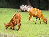 Tragelaphus eurycerus in the zoo, antelope Bongo - 241558645