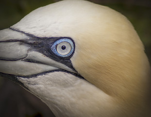 Gannet birds living on cliff tops showing bright blue eyes and large wingspan. © Philip