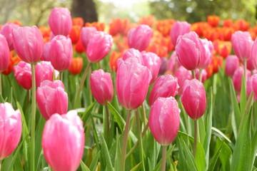 beautiful tulips wallpapers
