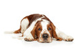 Springer Spaniel resting on white background