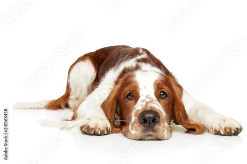 Springer Spaniel resting on white background