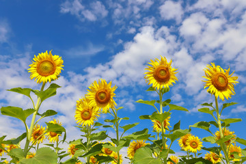 Beautiful sunflowers in the field natural background