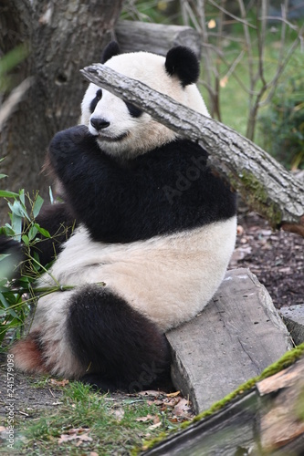 a seated panda feeds on bamboo