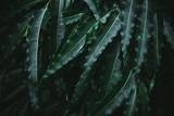 Deep dark green palm leaves pattern - 241590468