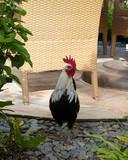 Kauai Rooster Resort