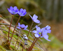 """Постер, картина, фотообои """"Hepatica, liverleaf, or liverwort in the forest. Hepatica is a genus of herbaceous perennials in the buttercup family. Macro photo. Spring time concept."""""""