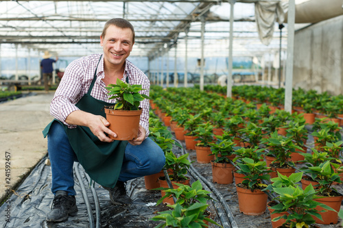 Male worker arranging poinsettia pulcherrima herbs while gardening in greenhouse